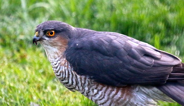 Sparrowhawk IMG_2343