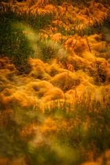 Orange Grass In the Marhlands