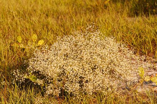 polygonaceae dicots octoberflower polygonellapolygamavarpolygama
