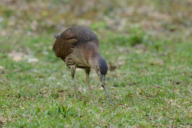 闊別26年,喜見麻鷺來訪。圖為正在啄食蚯蚓的麻鷺。(謝偉麟/香港觀鳥會)