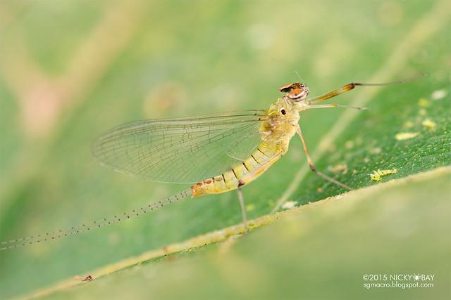 Mayfly (Ephemeroptera) - DSC_4807