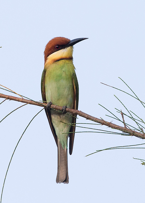 Chestnut-headed Bee-eater  Thailand