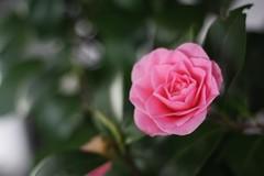 camellia sasanqua(0.0), camellia(1.0), garden roses(1.0), rosa 㗠centifolia(1.0), floribunda(1.0), flower(1.0), plant(1.0), camellia japonica(1.0), theaceae(1.0), pink(1.0), petal(1.0),