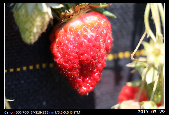 2015_0329Strawberry3