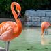 Flamingo by ManchegoP.R