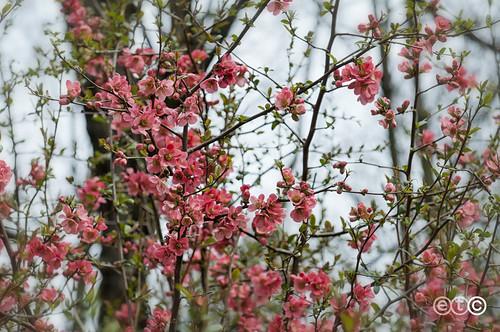 Valbasca, fiori rosa