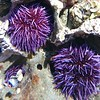 Sea urchins - and my first underwater shot! #latergram #ranchopalosverdes #losangeles #tidepools #nofilter