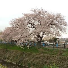 one more huge sakura tree🌸 #latergram #sakura #osaka #minoo #桜 #箕面 #大阪