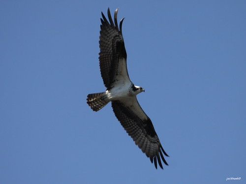 """Osprey"" ""Pandion haliaetus"""