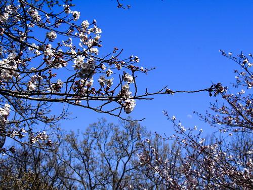 japan cherry blossom kumamoto omd em5 桜の花 tachioka
