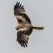 Red Kite by Paul West ( pwest.me )