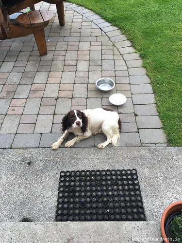 founddogmainstreetmayo found dog main street mayo july 2016