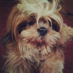 What? I'm still sleepy □□□ take my pic later after my beauty rest ~ #HersheyShihTzu □□□ #cute #ShihTzu #ShihTzuPhilippines #ShihTzusOfInstagram #dogsphilippines #dogworld