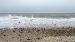 Turnstones on the beach