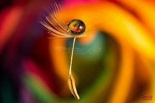 flying dandelion drop