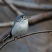 Gnatcatcher Songs by Luckybon