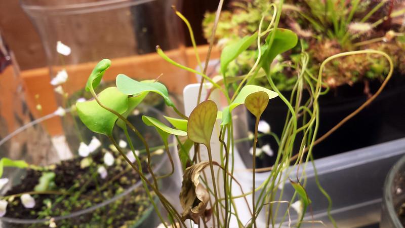Utricularia humboldtii.