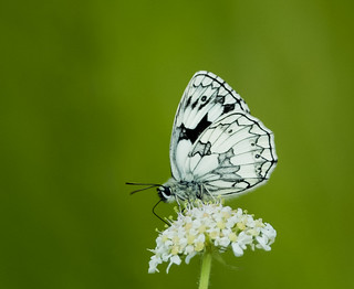 Marbled White 2014