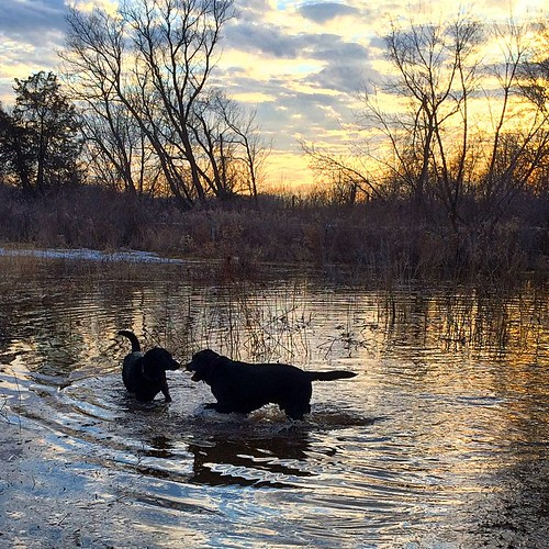 Black Labs in water #dogpark