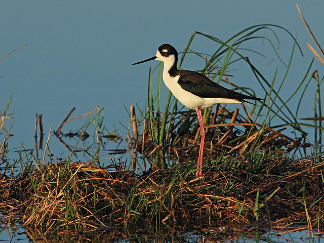 Black-necked Stilt 05-20150315