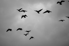 animal migration(1.0), water bird(1.0), wing(1.0), silhouette(1.0), monochrome photography(1.0), flock(1.0), monochrome(1.0), black-and-white(1.0), bird migration(1.0), bird(1.0), flight(1.0),