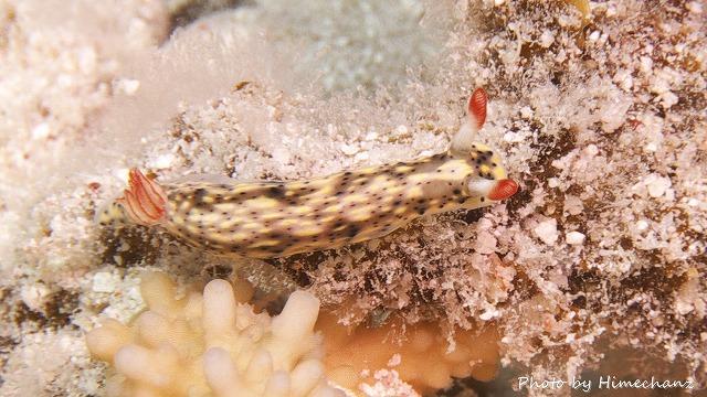 ホシゾラウミウシ