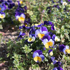 pansy, annual plant, flower, plant, wildflower, flora, viola,