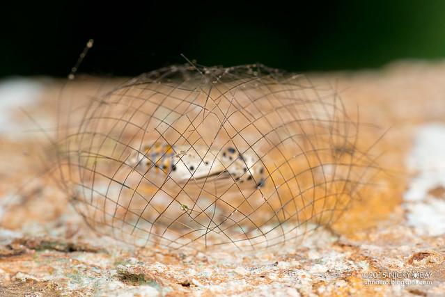 Arctiine moth pupa (Cyana sp.) - DSC_7560