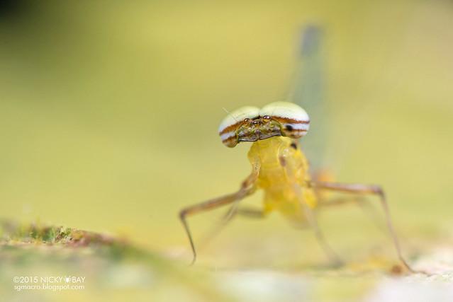 Mayfly (Ephemeroptera) - DSC_4825
