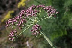 Lomatium columbianum