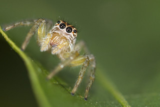 Salticidae nice eyes