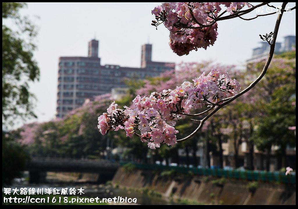 興大路綠川洋紅風鈴木DSC_2301