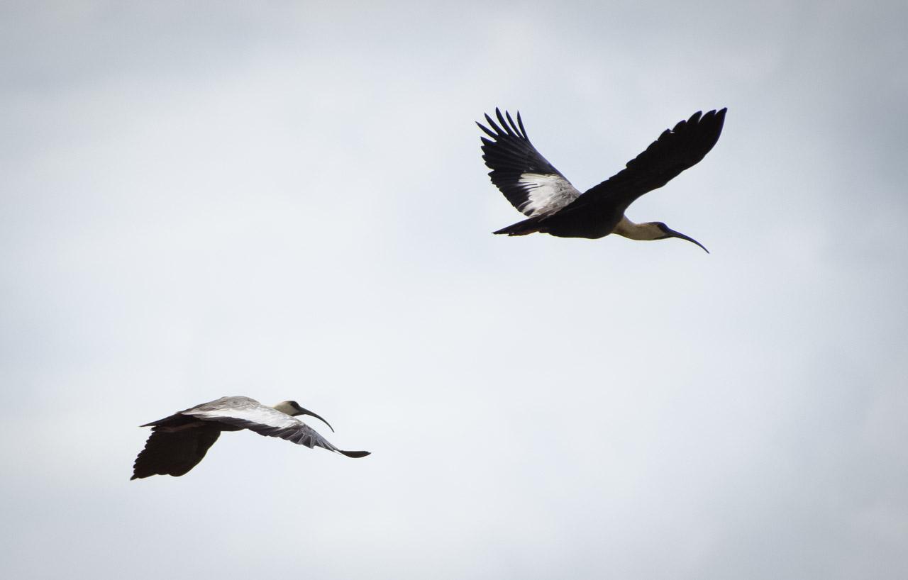 """Las bandurrias o """"kurukáu"""" (Theristicus caudatus) son vistos volando por la zona cercana a la estancia. Los avistamientos de estas aves aumentaron con el crecimiento de los esterales, debido a las recientes lluvias intensas. (Elton Núñez)."""