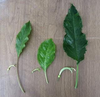 Delissea ssp. Flower & leaf comparisons