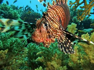 Lionfish collision