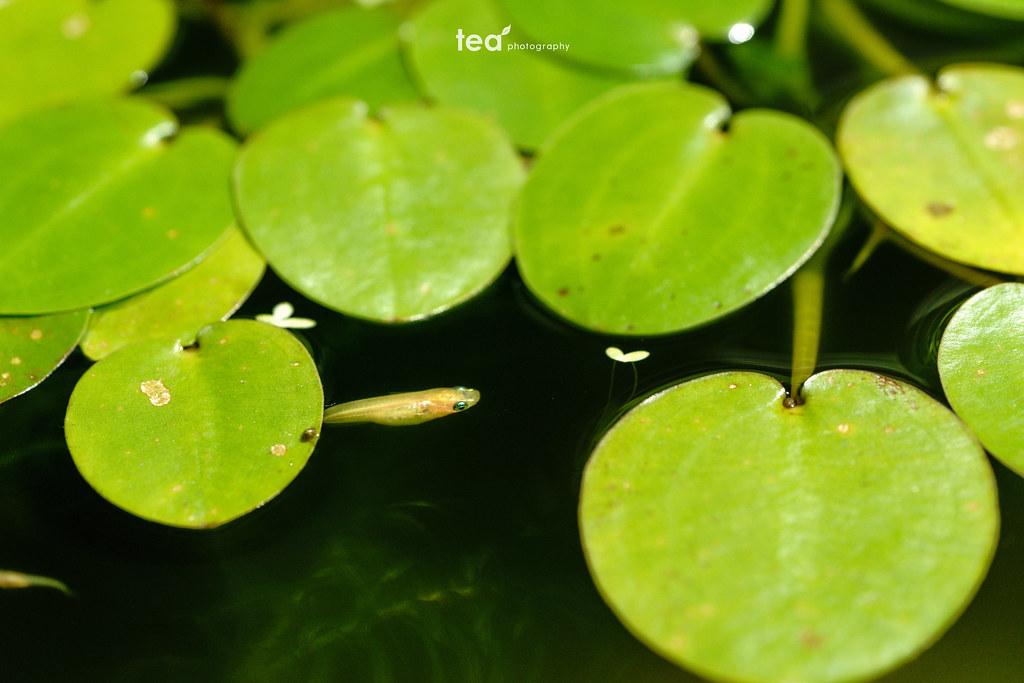 Killifish & Water poppy | Sony α7RII + FE 90mm F2.8 Macro G OSS