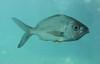 Fish species in aquarium.