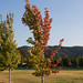 Small photo of Bicolored Tree