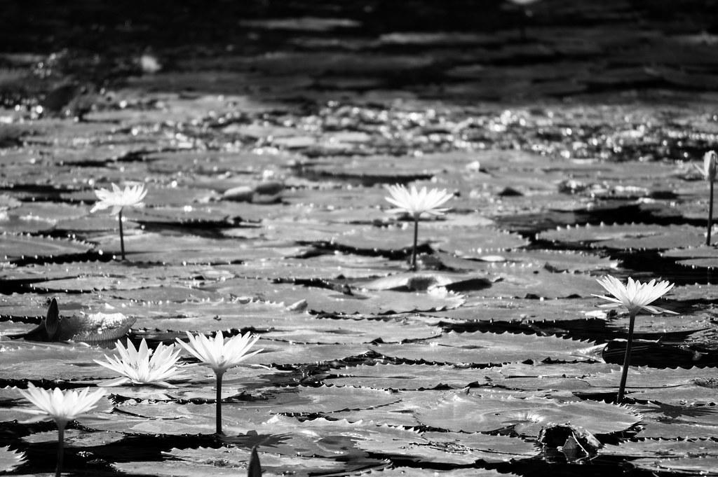 White Water Lily (B/W)