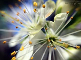 20150321 - White  macro flowers