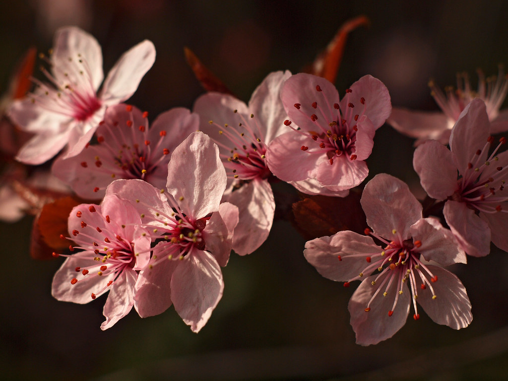pink bloom by Johnson Cameraface