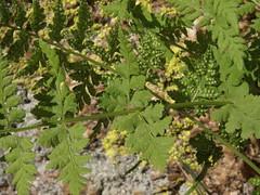 brittle fern, Cystopteris fragilis