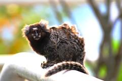 animal, branch, mammal, fauna, marmoset, close-up, new world monkey,