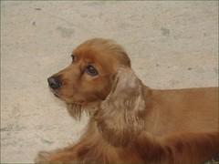 dog breed(1.0), animal(1.0), dog(1.0), field spaniel(1.0), irish setter(1.0), setter(1.0), english cocker spaniel(1.0), spaniel(1.0), american cocker spaniel(1.0), carnivoran(1.0),