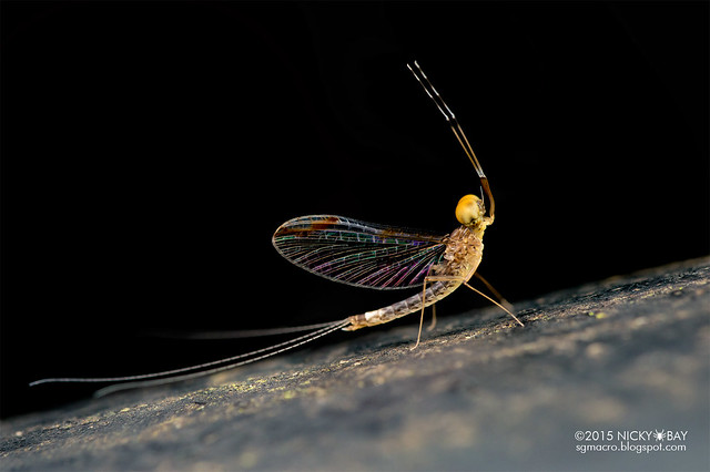 Mayfly (Ephemeroptera) - DSC_4680