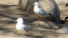 Ring-billed Gull (with orange bare parts!)