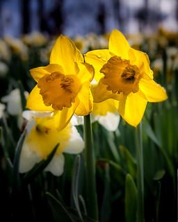 Daffodil Stars