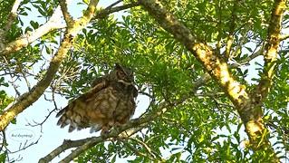 Great Horned Owl !