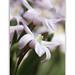 Chinodoxa frobesii - Sternhyazinthe - Glory of the snow by steffi's