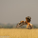 uttampegu posted a photo:	Montagu's Harrier - the ghost of grassland of Tal Chappar, Rajasthan, India